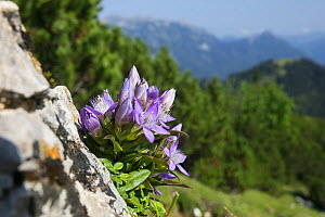 Gentian (Gentianella germanica) Karwendel mountains, Alps, Austria. September.  -  Konrad  Wothe