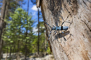 Blue longhorn beetle (Rosalia alpina) on dead tree trunk, Upper Bavaria, Alps, Germany. July. - Konrad  Wothe