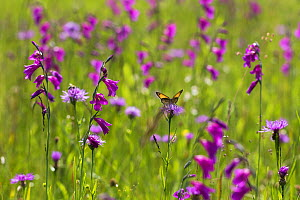 Gladiolus (Gladiolus palustris) flowering with meadow brown butterfly (Maniola jurtina), Upper Bavaria, Germany. - Konrad  Wothe