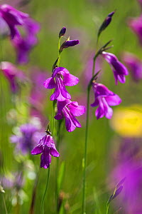 Gladiolus (Gladiolus palustris) flowers, Upper Bavaria, Germany, July. - Konrad  Wothe