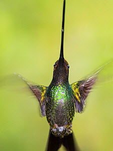 Sword-billed hummingbird (Ensifera ensifera) in flight, North-Ecuador, Ecuador. - Konrad  Wothe
