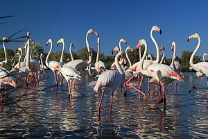 Greater flamingo (Phoenicopterus ruber) Camargue, France, May.  -  Konrad  Wothe