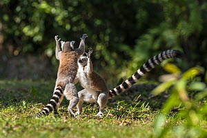 Ringtailed lemurs (Lemur catta) play fighting, Nahampoana Reserve, South Madagascar. - Konrad  Wothe
