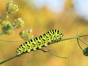 Caterpillar of Swallowtail Butterfly (Papilio machaon) Upper Bavaria, Germany. August. - Konrad  Wothe