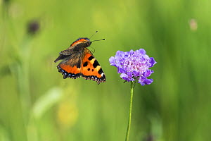 Small tortoiseshell butterfly (Aglais urtica) in flight, with flower, Bavaria, Germany.  -  Konrad  Wothe
