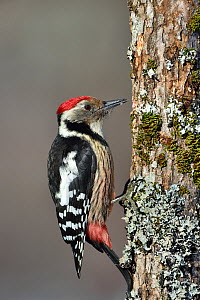 Middle spotted woodpecker (Dendrocopos medius) on a tree trunk,  Leon, Spain, February.  -  Loic Poidevin