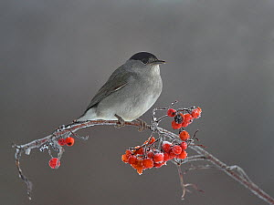 Eurasian blackcap (Sylvia atricapilla) perched on Rowan (Sorbus aucuparia) Leon, Spain, February - Loic Poidevin
