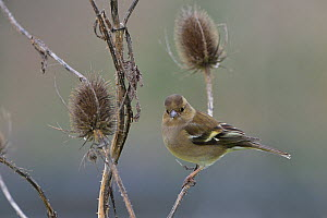 Common chaffinch (Fringilla coelebs) female perched on teasel. Vendee, France, January.  -  Loic Poidevin
