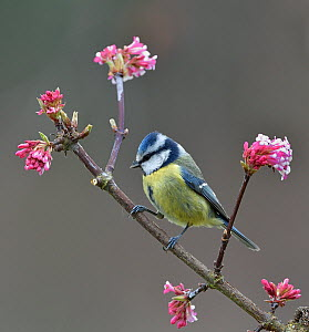 Eurasian blue tit (Cyanistes caeruleus) on a branch, Vendee, France, January.  -  Loic Poidevin