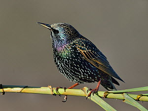 Common starling (Sturnus vulgaris) on reed, Vendee, France, January.  -  Loic Poidevin