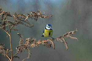Eurasian blue tit (Cyanistes caeruleus) perched, Vendee, France, January.  -  Loic Poidevin