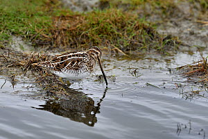 Common snipe (Gallinago gallinago) foraging in water, Breton Marsh, Vendée, France, January.  -  Loic Poidevin