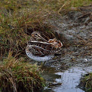 Common snipe (Gallinago gallinago) foraging in water. Breton Marsh, Vendee, France, January  -  Loic Poidevin