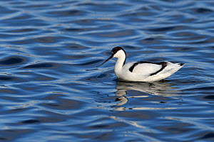 Pied avocets (Recurvirostra avocetta) foraging in water, Le Teich, Gironde, France, January.  -  Loic Poidevin