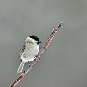 Marsh tit (Poecile palustris) on a branch, Leon, Spain, February.  -  Loic Poidevin