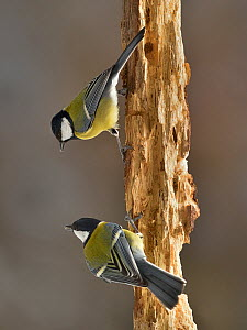 Great tit (Parus major) two perched on branch, Leon, Spain, February.  -  Loic Poidevin