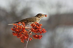 Song thrush (Turdus philomelos) feeding on Rowan (Sorbus acuparia) berries, Leon, Spain, February. - Loic Poidevin