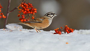 Rock bunting (Emberiza cia) In the snow with Rowan (Sorbus acuparia) berries Leon, Spain, February  -  Loic Poidevin