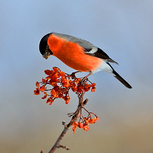 Eurasian bullfinch (Pyrrhula pyrrhula) male on a branch feeding on Rowan (Sorbus aucuparia) berries, Leon, Spain, February. - Loic Poidevin
