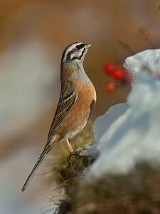 Rock bunting (Emberiza cia) in the snow, Leon, Spain, February. - Loic Poidevin