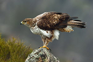 Bonelli's eagle (Aquila fasciata) on rock, Leon, Spain, February.  -  Loic Poidevin