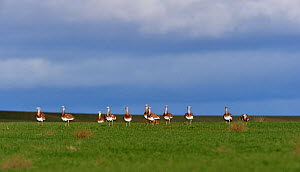 Great bustards (Otis tarda) foraging on grass, Castille and Leon, Spain, February.  -  Loic Poidevin