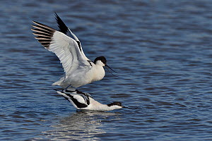 Pied avocet (Recurvirostra avosetta) pair mating, Vendeen Marsh, Vendee, France, March  -  Loic Poidevin
