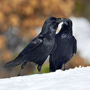 Northern ravens (Corvus corax) interacting in snow, Leon, Spain, February.  -  Loic Poidevin