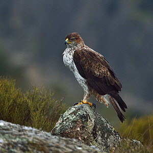 Bonelli's eagle (Aquila fasciata) on rock, Leon, Spain, February  -  Loic Poidevin