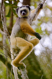 Diademed sifaka (Propithecus diadema), sitting in tree, Anjozorobe Special Reserve, Madagascar, Critically Endangered, endemic.  -  Lorraine Bennery