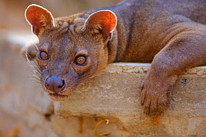 Fossa (Cryptoprocta ferox) resting, Kirindy Forest Private Reserve, Madagascar,Vulnerable, endemic. - Lorraine Bennery