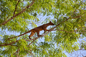 Fossa (Cryptoprocta ferox), climbing in tree, Kirindy Forest Private Reserve, Madagascar, Vulnerable, endemic.  -  Lorraine Bennery
