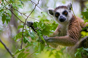 Ring-tailed lemur (Lemur catta), portrait in tree, Anja Community Reserve, Madagascar, Endangered, endemic. - Lorraine Bennery