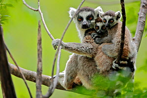 Ring-tailed lemur (Lemur catta), mother with two young babies. Anja Community Reserve, Madagascar, Endangered, endemic. - Lorraine Bennery