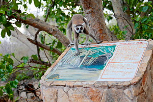 Ring-tailed lemur (Lemur catta) walking on sign about nearby sinkhole. Tsimanampetsotsa National Park, Madagascar, Endangered species, endemic.  -  Lorraine Bennery