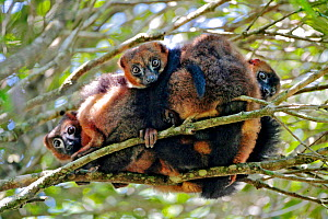 Red-bellied lemur (Eulemur rubriventer) huddling together in tree branches. Anjozorobe Special Reserve, Madagascar. Vulnerable species, endemic. - Lorraine Bennery