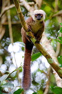 White-fronted brown lemur (Eulemur albifrons) in tree, Rainforests of the Atsinanana, Marojejy National Park, Madagascar. Endangered species, endemic. - Lorraine Bennery