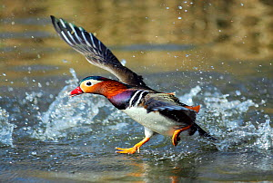 Mandarin duck drake (Aix galericulata) runnng across the water surface. Southwest London, UK, March.  -  Russell Cooper