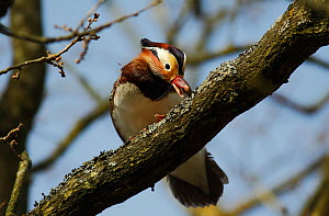 Mandarin duck drake (Aix galericulata) on a tree branch eating lichen, Southwest London, UK, April.  -  Russell Cooper