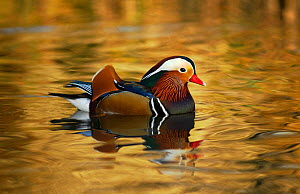 Mandarin duck drake (Aix galericulata) floating on colourful water, Southwest London, UK, January.  -  Russell Cooper