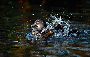 Mandarin duck (Aix galericulata) female bathing taking a bath, Southwest London, UK, November.  -  Russell Cooper