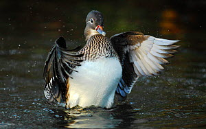 Mandarin duck (Aix galericulata) wing flapping,  Southwest London, UK, November.  -  Russell Cooper