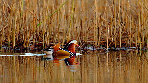 Mandarin duck drake (Aix galericulata) swimming through a reedbed, Southwest London, UK, November.  -  Russell Cooper