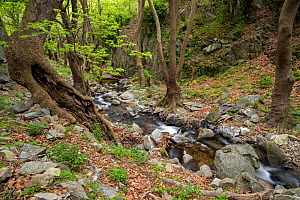 Landscape of mountain stream flowing through very old forests in Kresna gorge. This mountain stream eventually flows into the Struma river. In these forests Oriental plane trees (Platanus orientalis)... - David  Pattyn