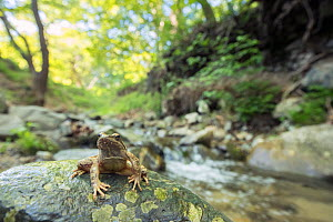 Greek stream frog (Rana graeca) sitting on a rock in typical forest habitata next to a fast flowing mountain stream, Close to Struma river, Kresna gorge, South-West Bulgaria, April  -  David  Pattyn