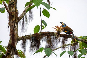 Plate-billed Mountain-Toucan (Andigena laminirostris), Bellavista private reserve, Mindo cloud forest, Pichincha, Ecuador, July  -  David  Pattyn