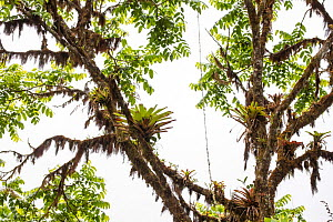 Fern covered trees with orchids and bromeliads, Bellavista private reserve, Mindo cloud forest area, Pichincha, Ecuador , July - David  Pattyn