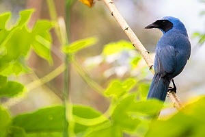 Turquoise jay (Cyanolyca turcosa) , Bellavista private reserve, Mindo cloud forest area, Ecuador, July  -  David  Pattyn