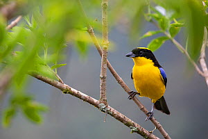 Orange-bellied euphonia (Euphonia xanthogaster) adult male, Bella vista private reserve, Mindo cloud forest area, Ecuador, July  -  David  Pattyn