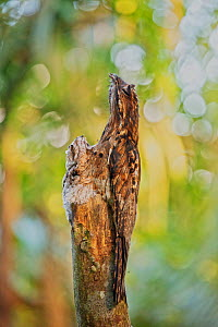 Common Potoo (Nyctibius griseus) camouflaged on tree with a young juvenile opposite it, Mindo cloud forest area, Ecuador, July  -  David  Pattyn